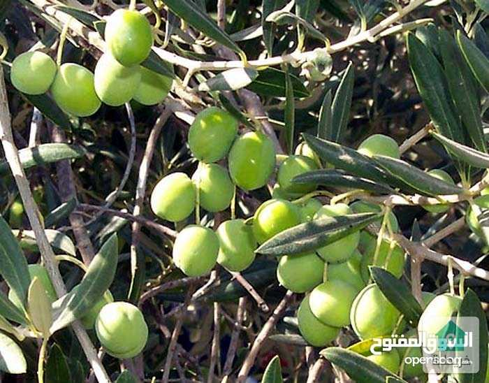 مزرعة زيتون. ١٢.٨دونم في اربد منطقة النعيمه.