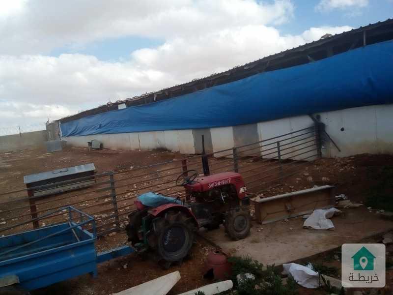 مزرعة تربيه وتسمين عجول اغنام ودواجن مميزه جدا 10 دونم ونصف بالعامريه